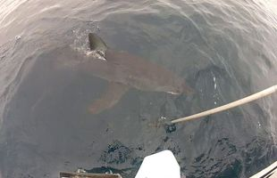 Reeling in a Big Shark